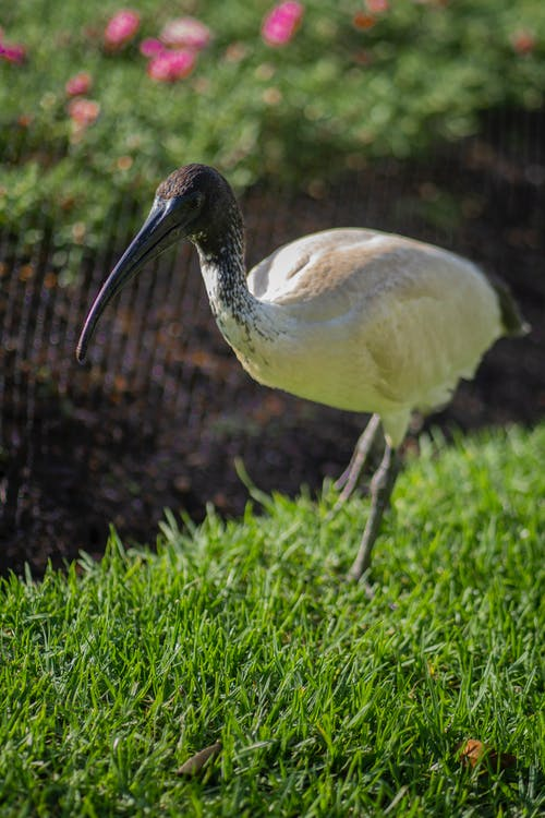 White Ibis on Grass