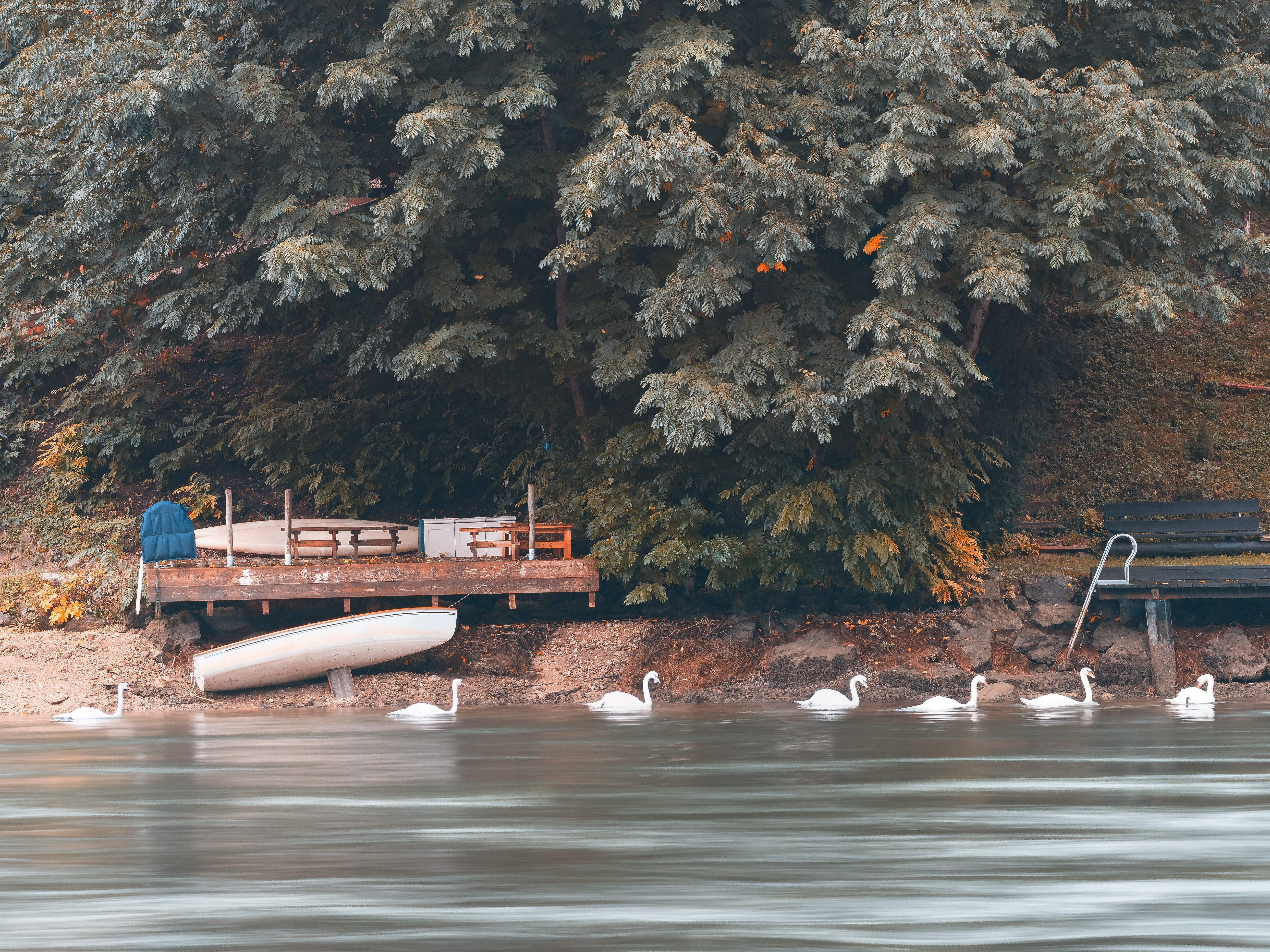 Flock of White Swans on Body of Water Beside Green Trees
