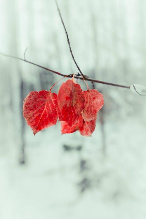 Ảnh lưu trữ miễn phí về chi nhánh, hệ thực vật, lá rơi, lá đỏ