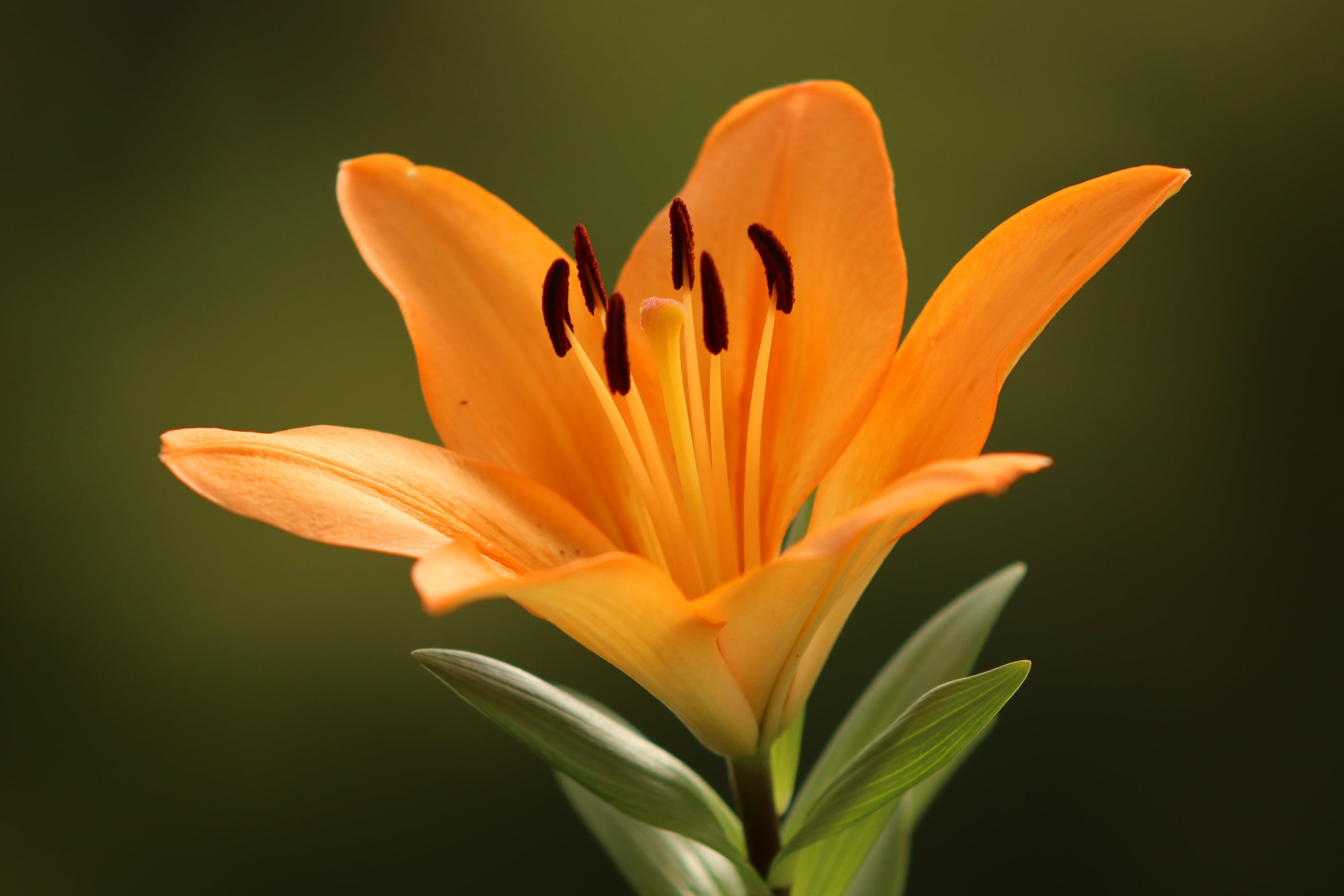 Orange Lily Flower in Bloom
