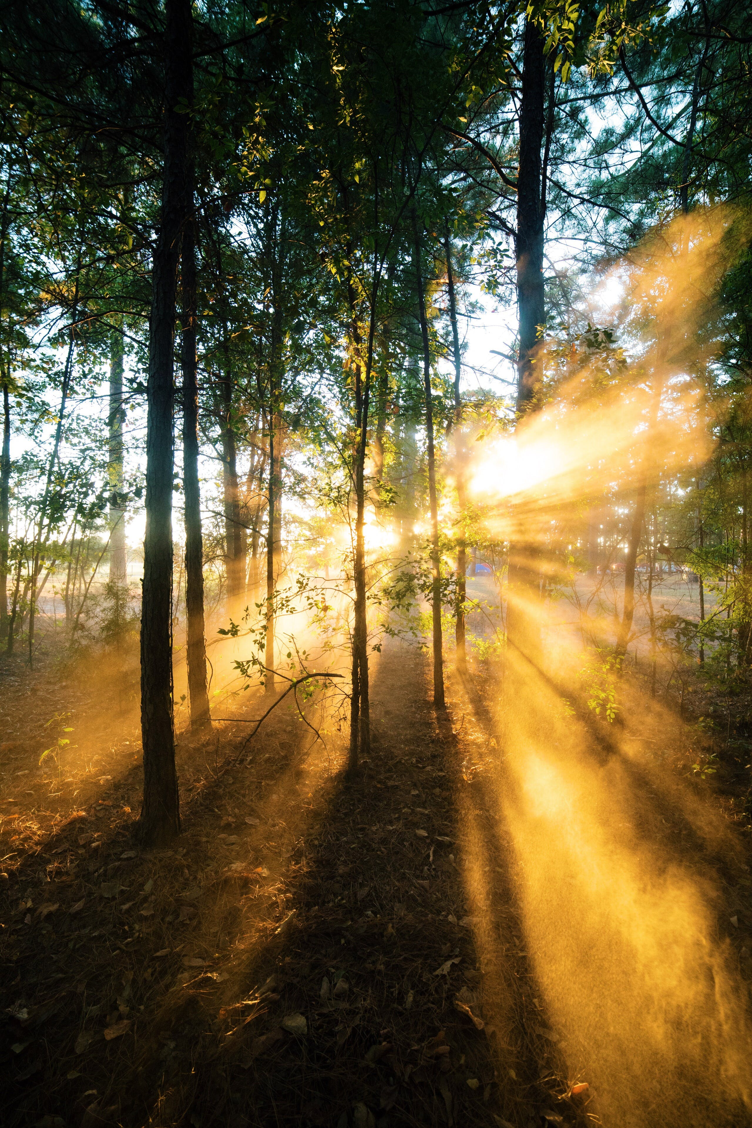 Sunrise Shade  of a Forest