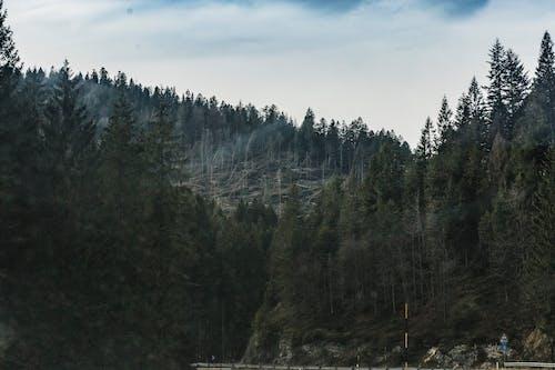 Darmowe zdjęcie z galerii z drzewa, drzewo iglaste, las, malowniczy