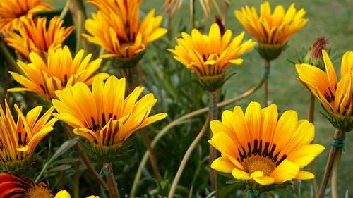 Foto d'estoc gratuïta de brillant, colors, creixement, flor de jardí