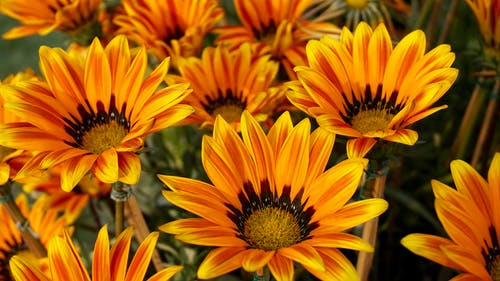 Close-up Photo of Orange and Yellow Gazania Flowers