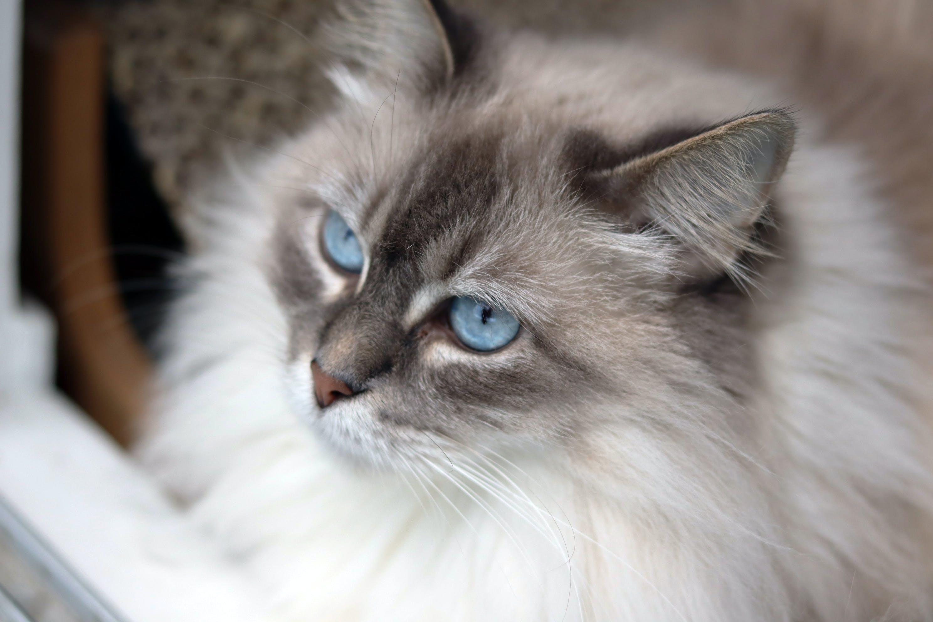 Free stock photo of cat, ragdoll cat