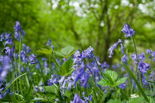 Free stock photo of bluebells, flower, woodland