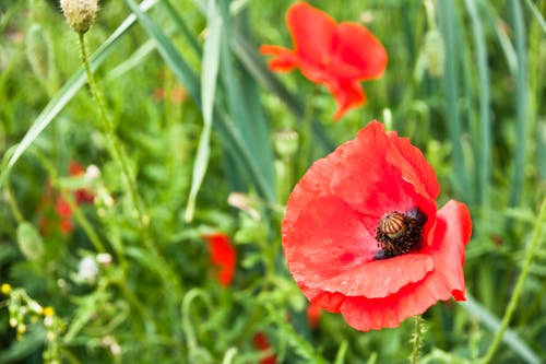 Free stock photo of field, flower, poppy
