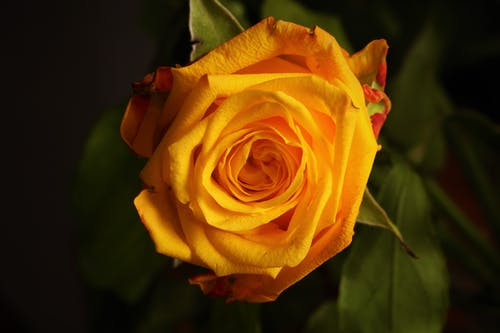 Macro Shot of Yellow Rose