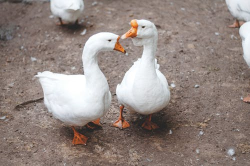 Foto profissional grátis de animais, gansos, pássaros aquáticos