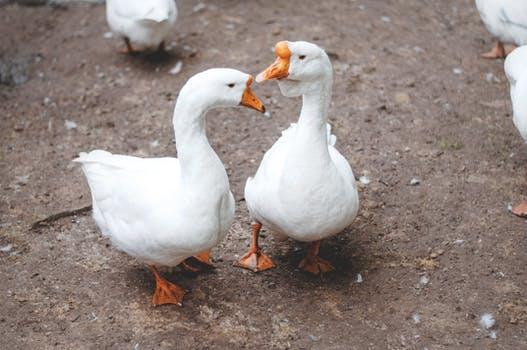 4 white goose free stock photo
