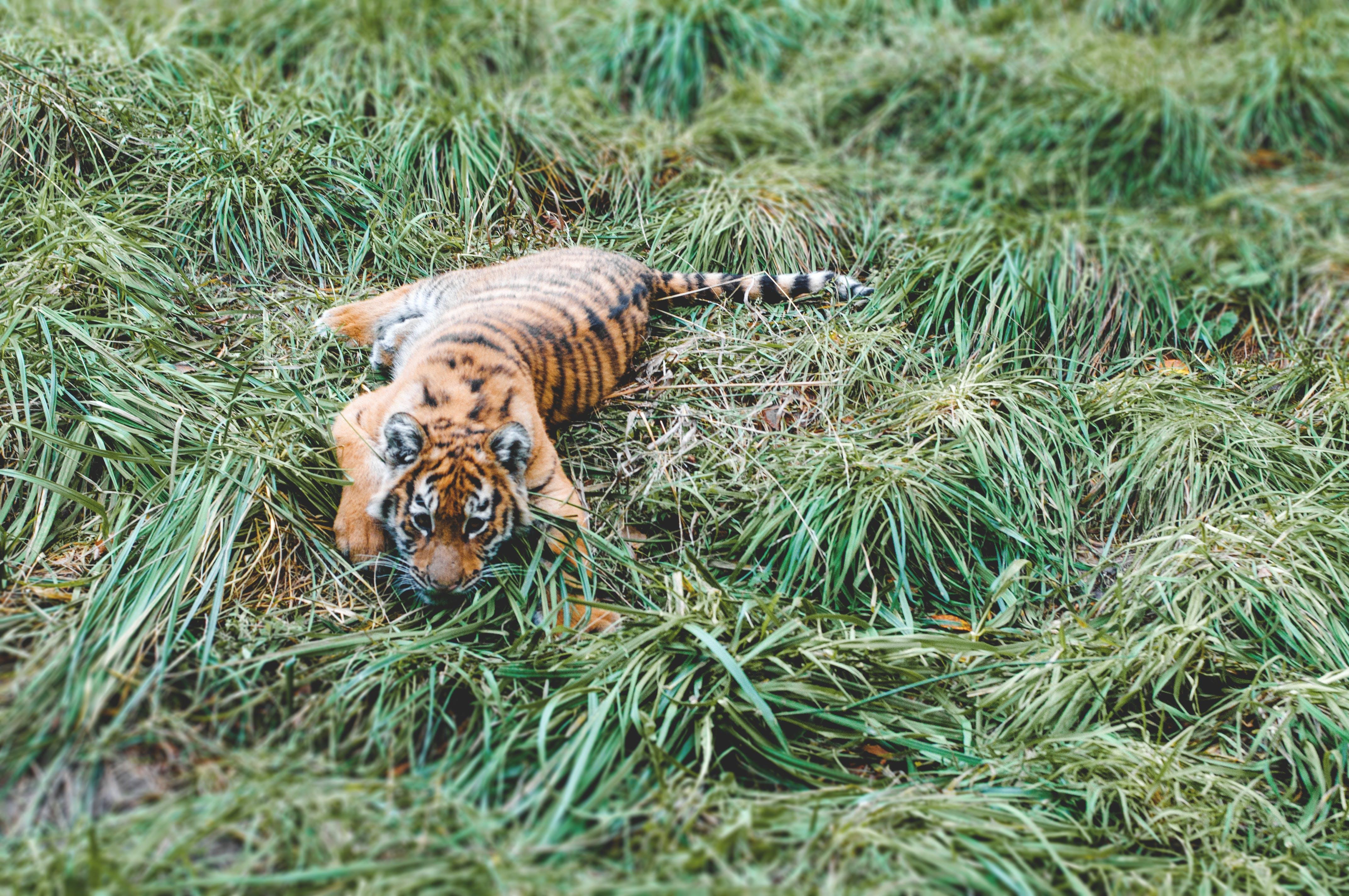 Free stock photo of animal, cat, cub, grass