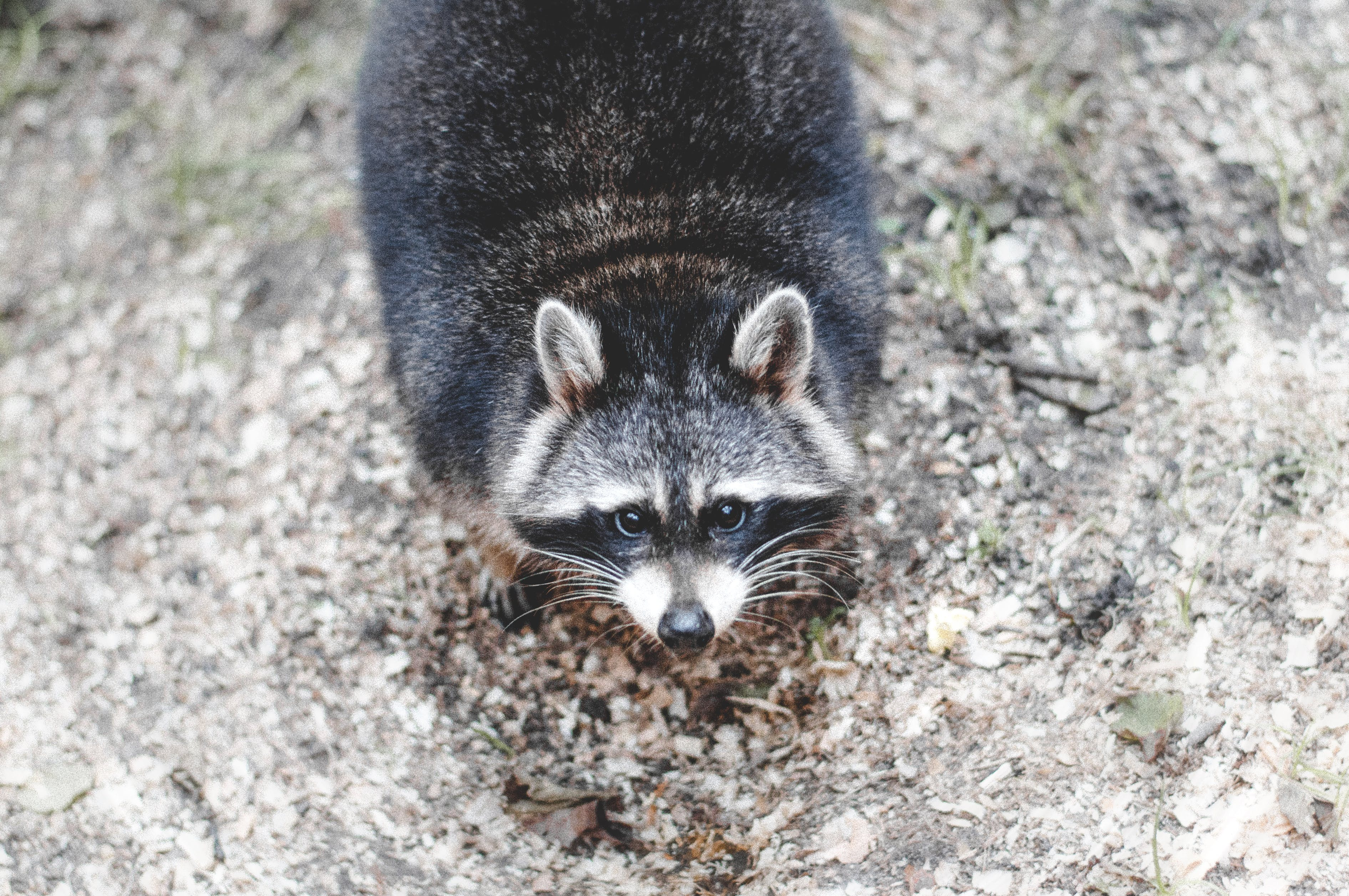 Close-up Photography of Raccoon on Gray Surface