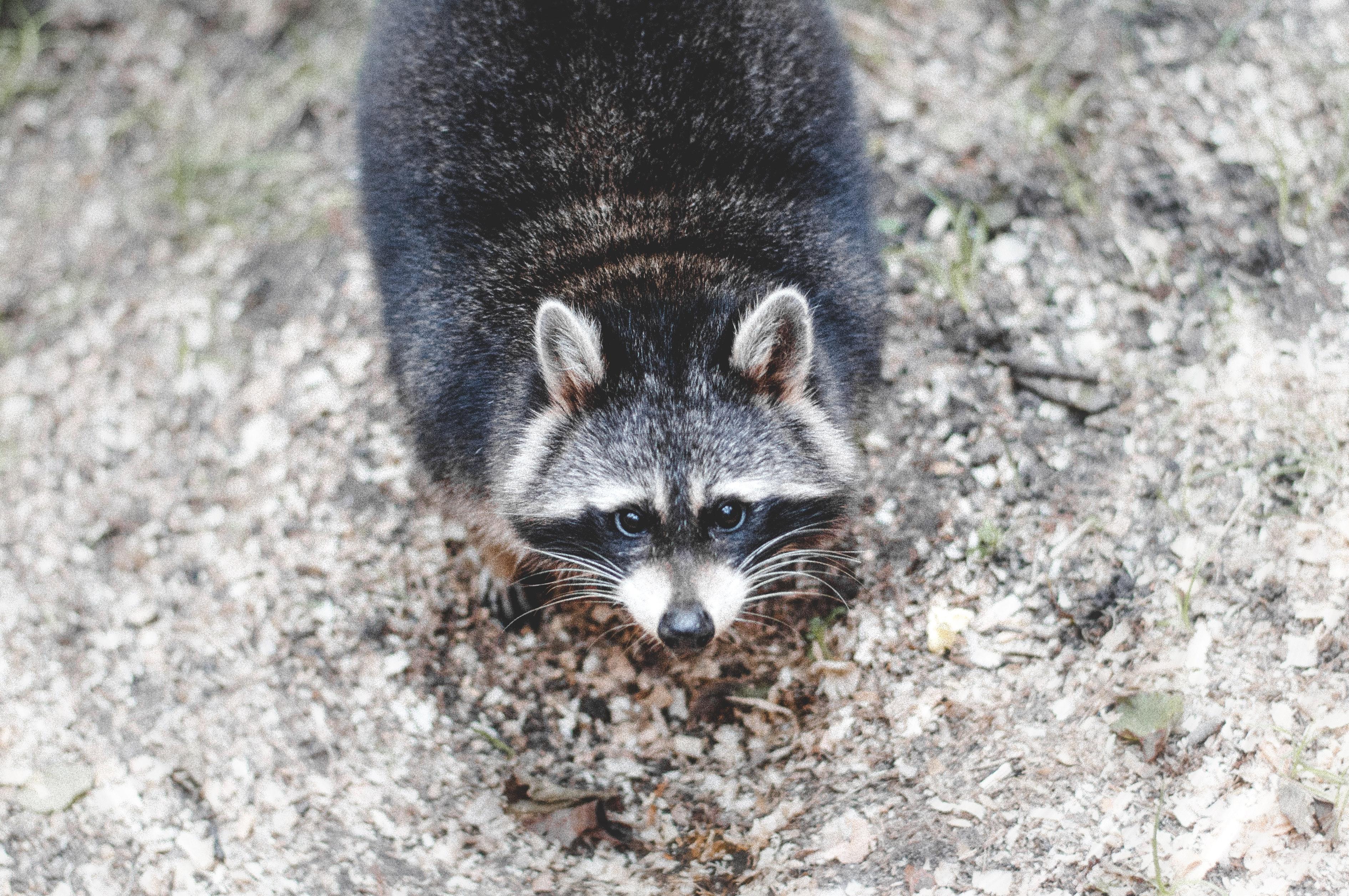 Brown And Black Raccoon Photo 183 Free Stock Photo