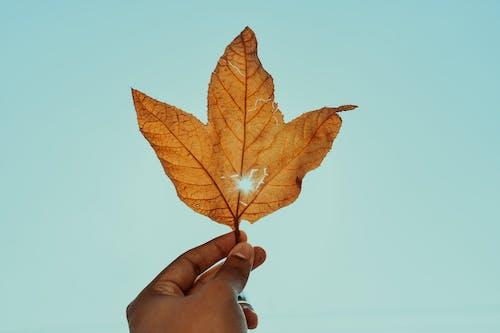Gratis stockfoto met droog blad, esdoorn, esdoorn blad, hand