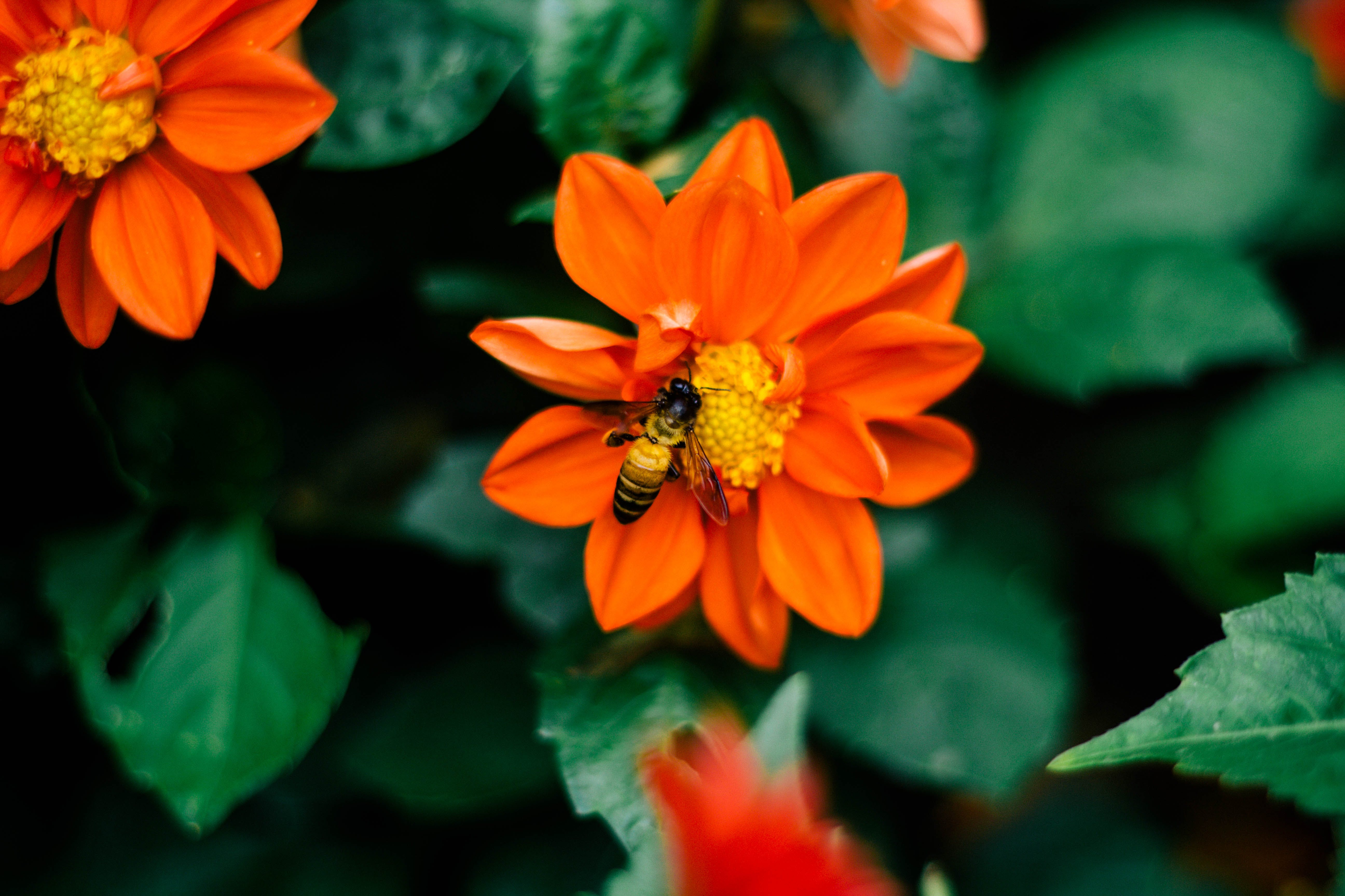 Selective Focus Photography Of Bee On Orange Flower