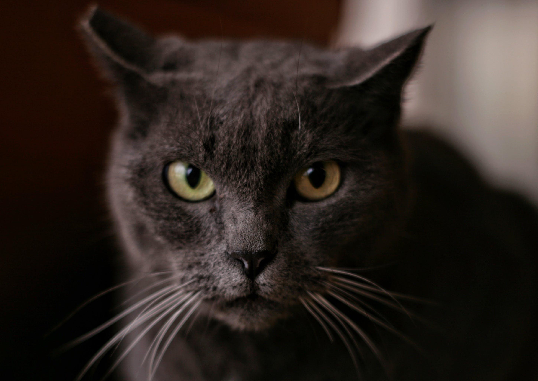 Kostenloses Stock Foto zu bezaubernd, haustier, kätzchen, katze