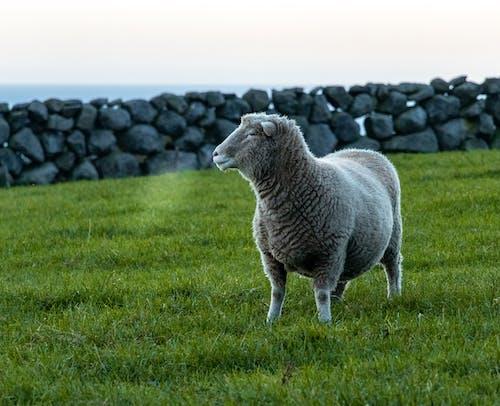 Gratis lagerfoto af får, forkølelse, Irland, kold ånde