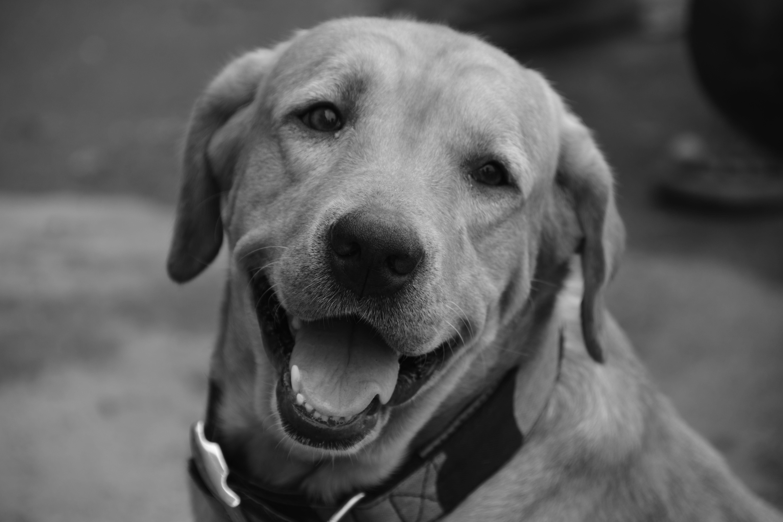 Základová fotografie zdarma na téma labrador, laskavost, loajální, oči