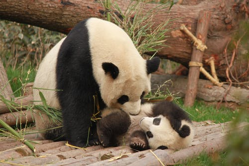 Photo of Panda and Cub Playing