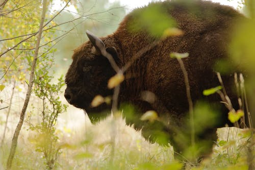 Brown Buffalo Closeup Photography