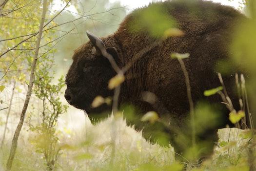Brown Buffalo Closeup Photography