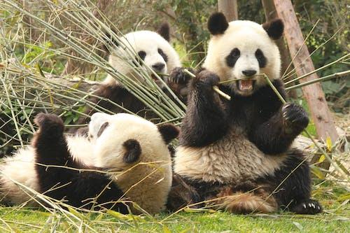 Free stock photo of animals, BigPanda, dianasilaraja, nature life