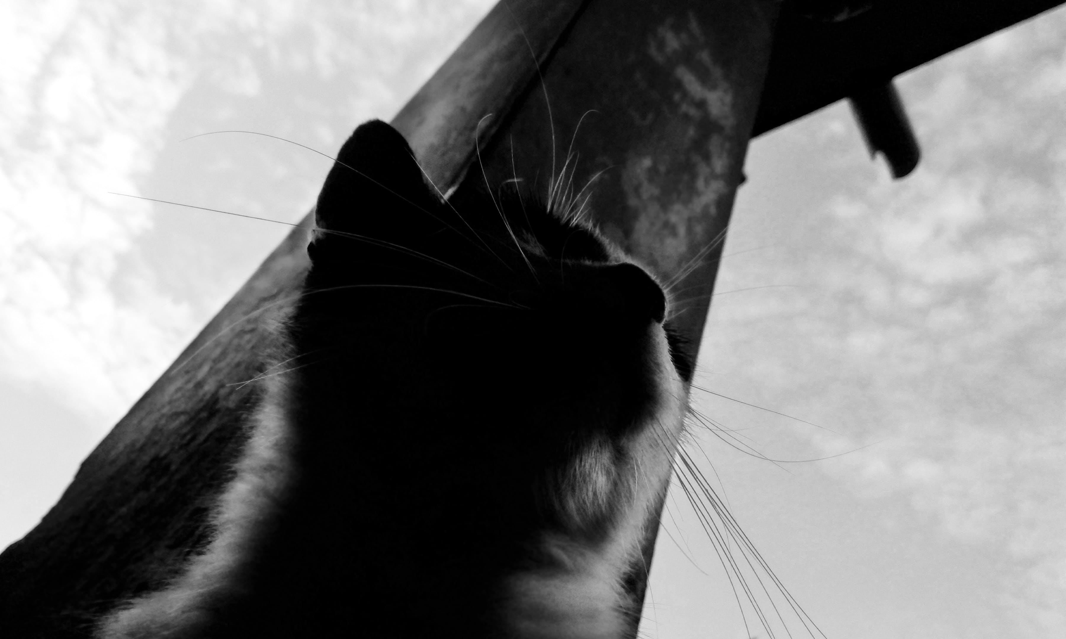 Δωρεάν στοκ φωτογραφιών με ασπρόμαυρο, Γάτα, πρόσωπο γάτας