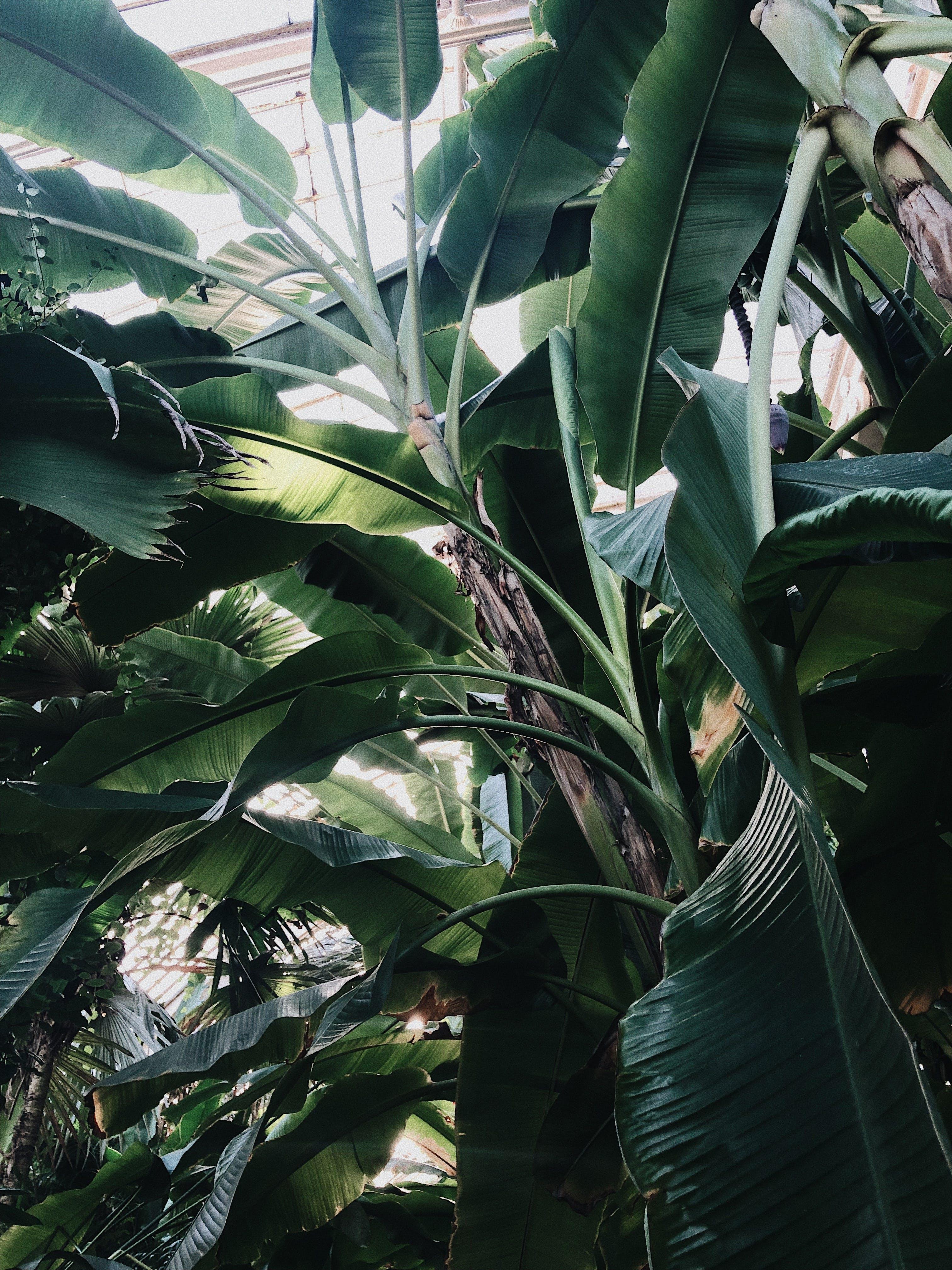 Základová fotografie zdarma na téma banánovníky, fotografie znízkého úhlu, listoví, příroda