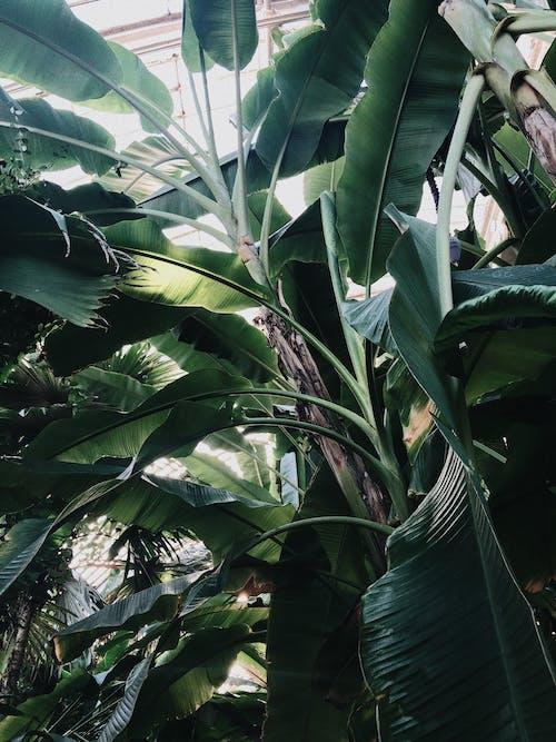 Ingyenes stockfotó alacsony szögű fényképezés, banán fák, fák, környezet témában