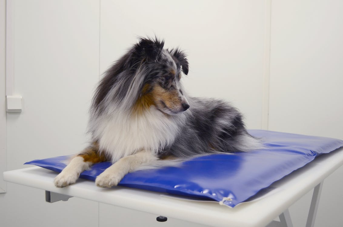 perro, perro pastor de shetland, veterinario