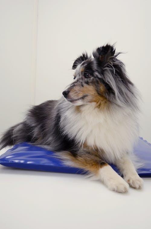 Δωρεάν στοκ φωτογραφιών με bluemerle, shetlandsheepdog, σκύλος