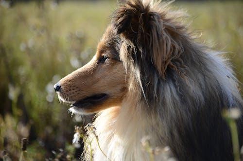 Δωρεάν στοκ φωτογραφιών με shetlandsheepdog, σκύλος, φύση