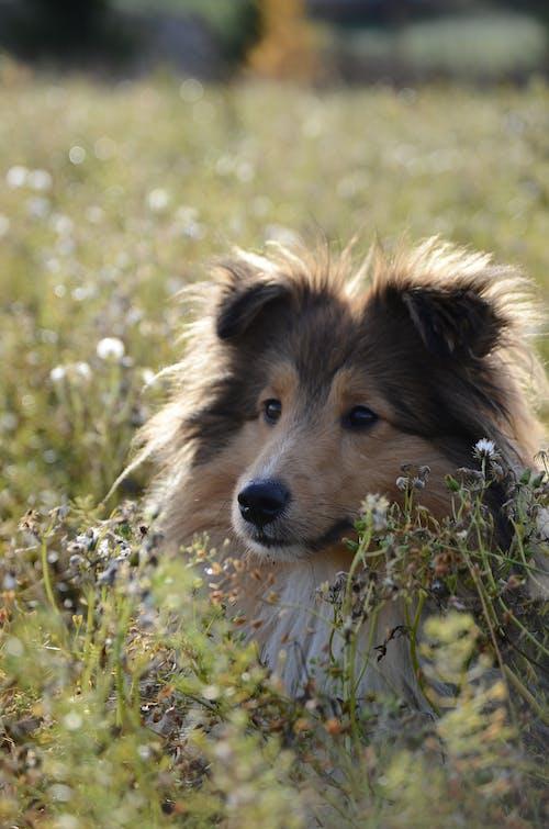 Fotos de stock gratuitas de naturaleza, perro, perro pastor de shetland