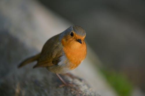 깃털, 나이팅게일, 날개, 동물의 무료 스톡 사진