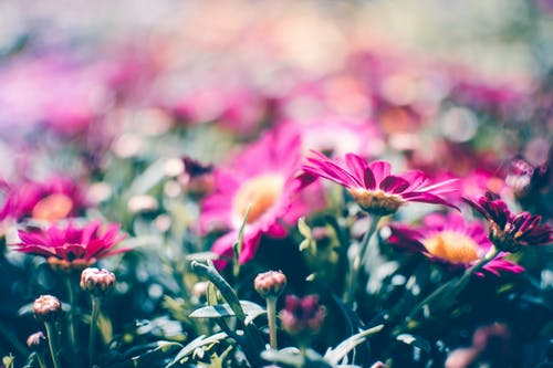 Blooming Pink Daisy Flowers