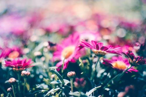 Gratis stockfoto met bloeiend, bloemblaadjes, bloemen, bloemknoppen