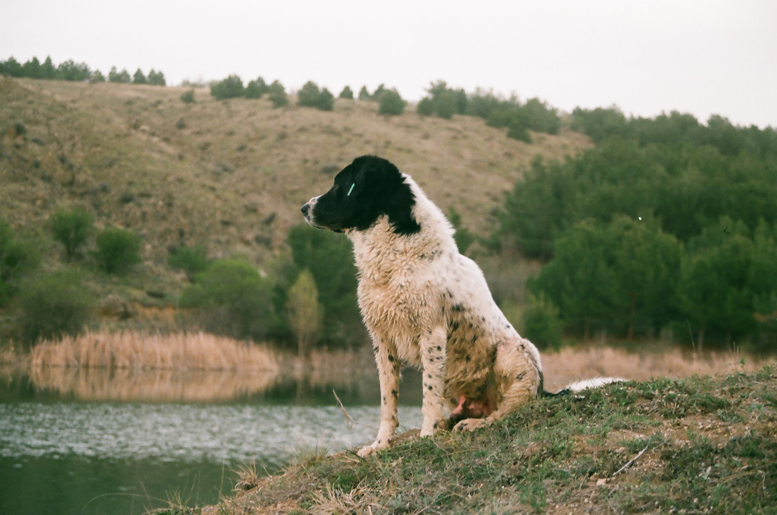 Adult Black and White Caucasian Shepherd Sitting Beside Body of Water