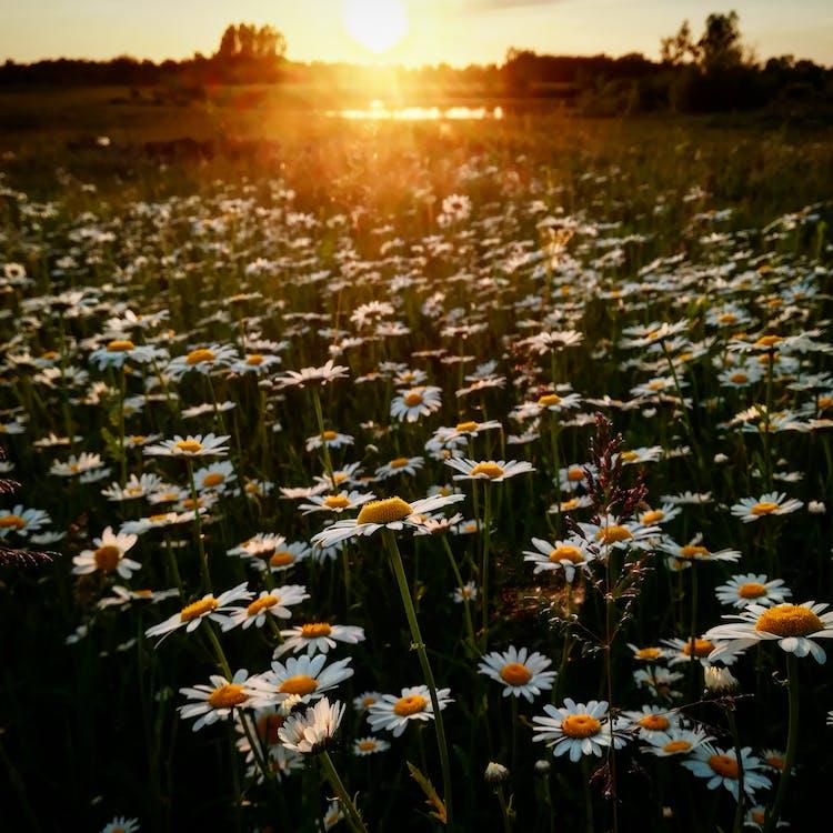 White Daisy Flower Field during Golden Hour