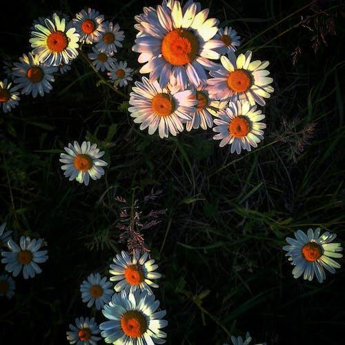 Fotos de stock gratuitas de flor, luces, margarita, margaritas