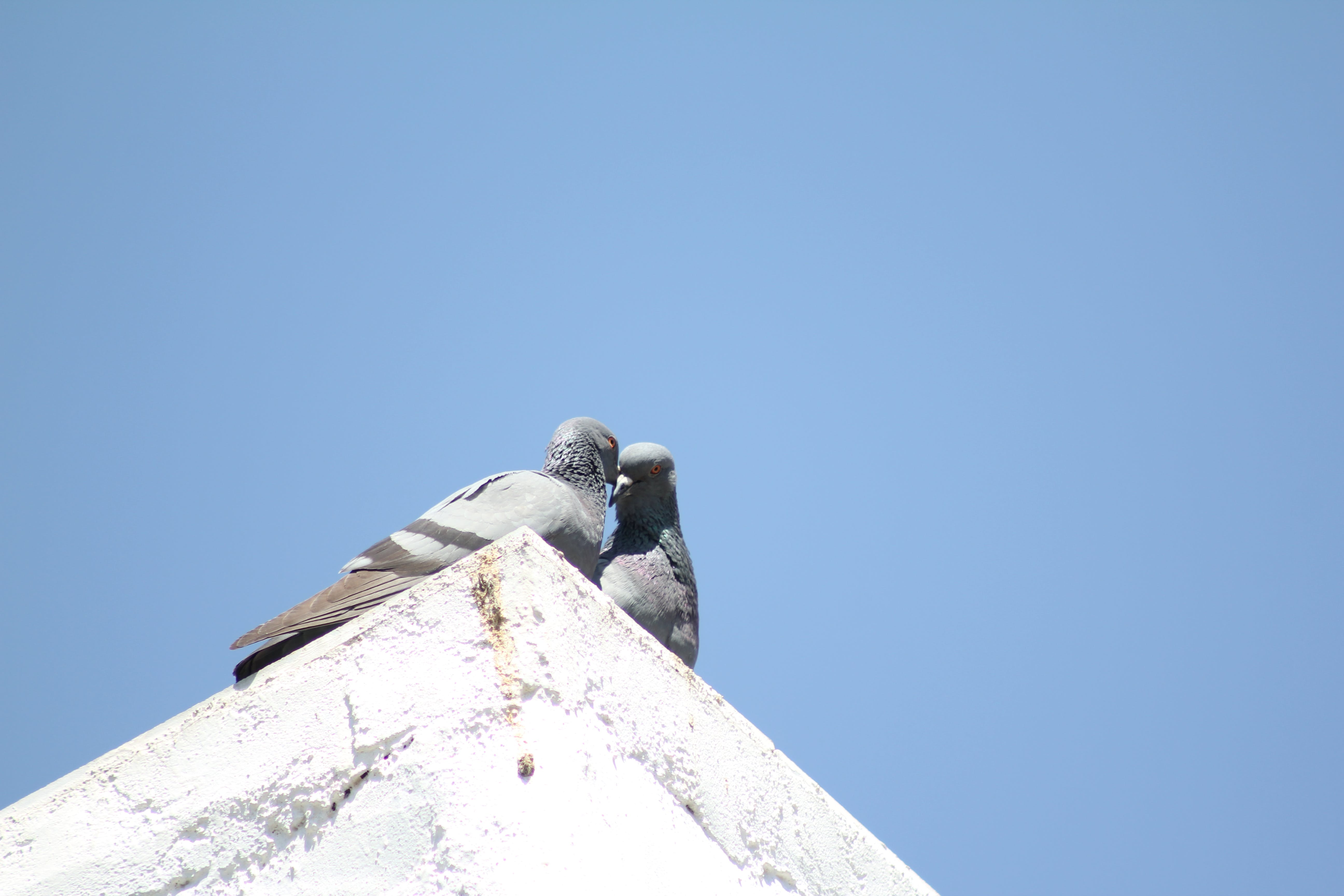 Free stock photo of ahmedabad, bird, birds, blue sky