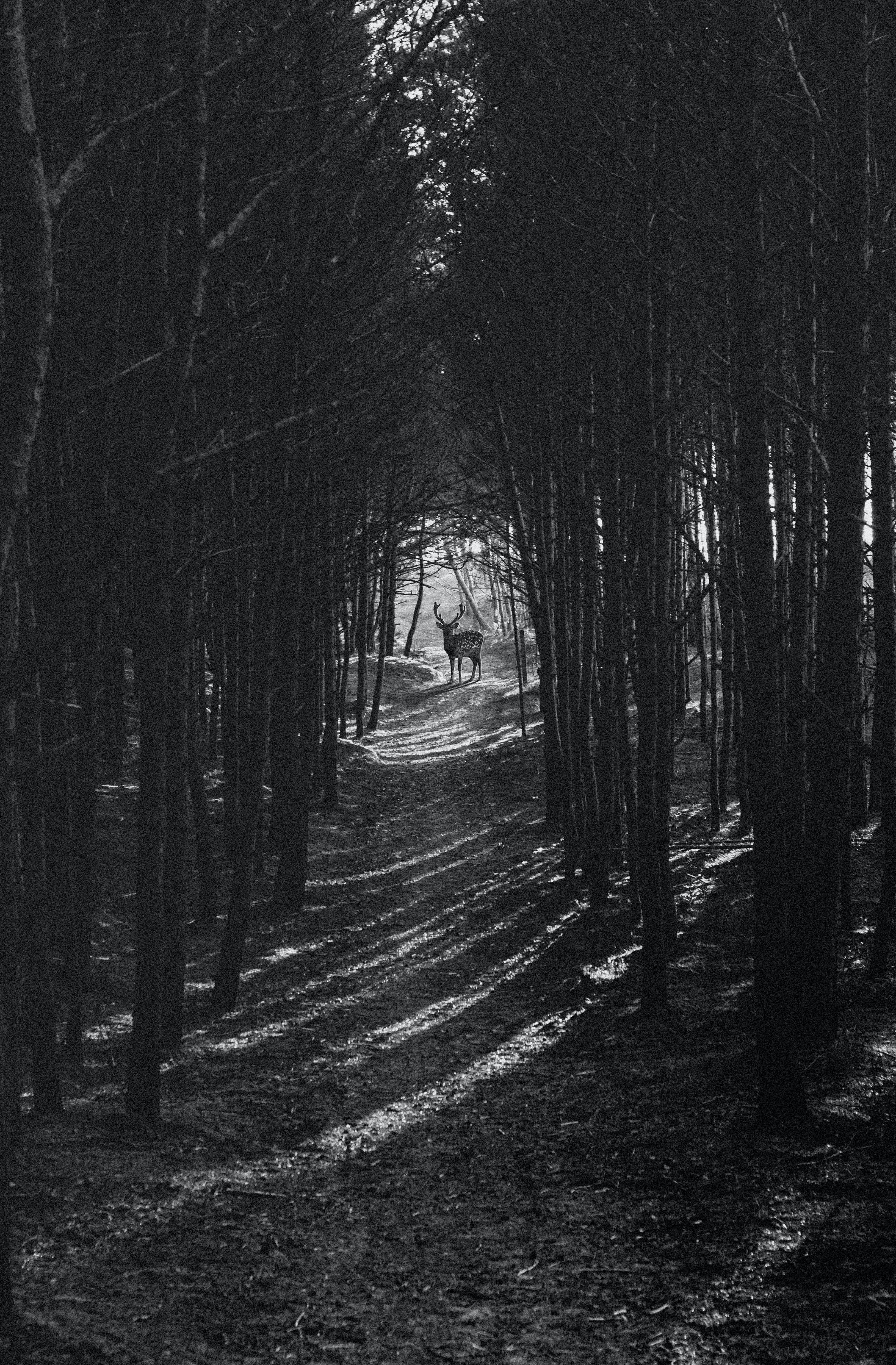 검은색, 바탕화면, 사슴, 숲의 무료 스톡 사진