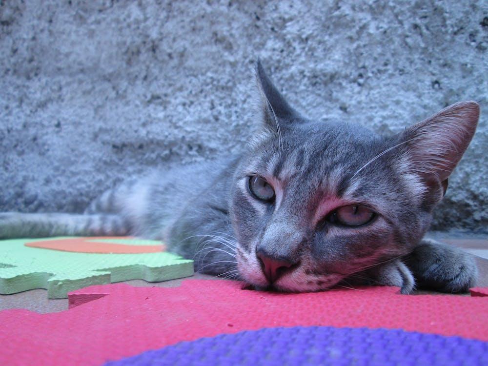 вуса, кішка, котячі