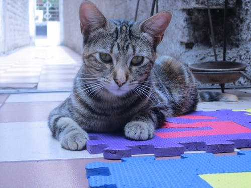 Gray Tabby Cat on Purple Puzzle Mat