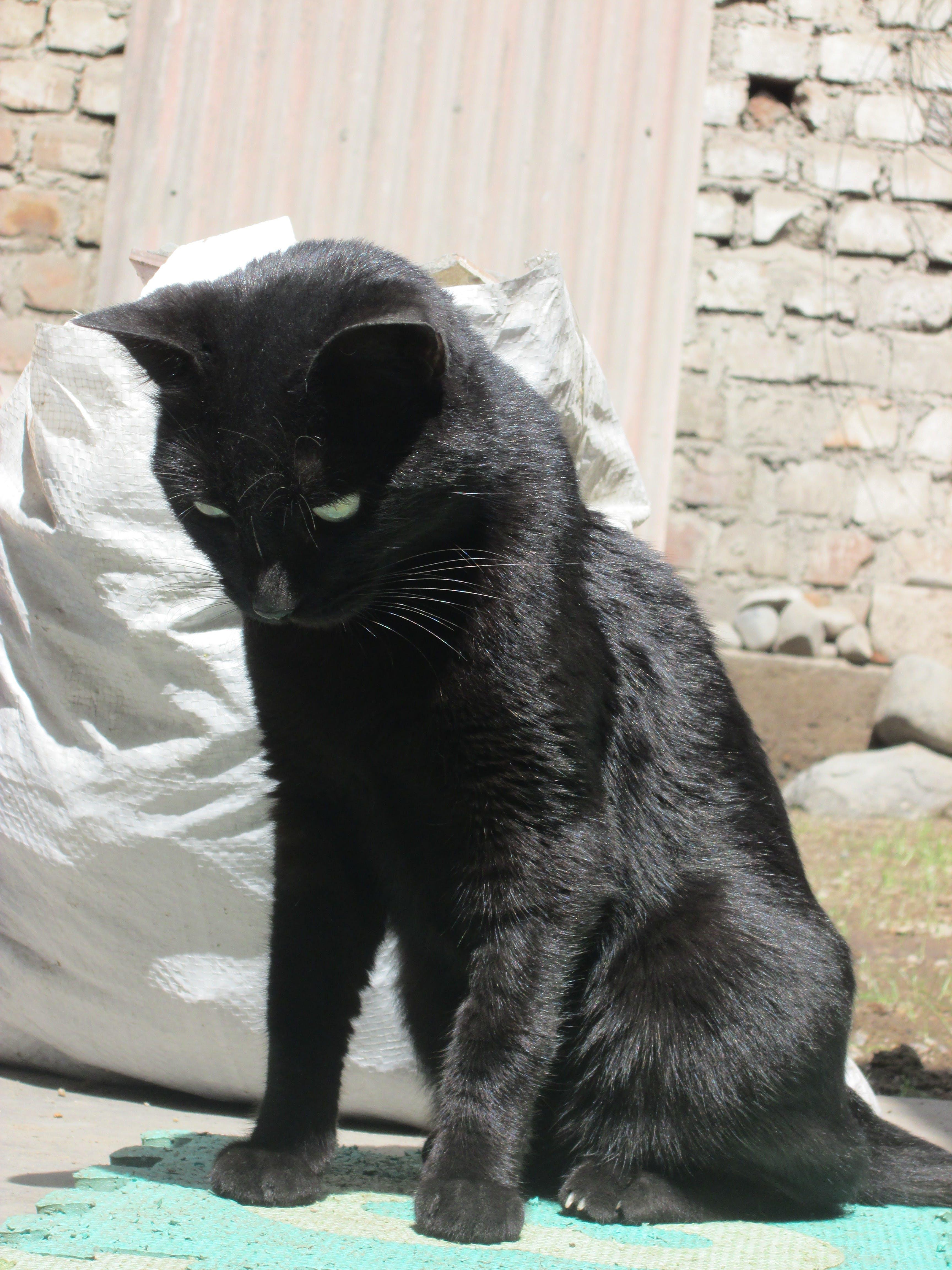 Kostenloses Stock Foto zu gato negro, schwarze katze