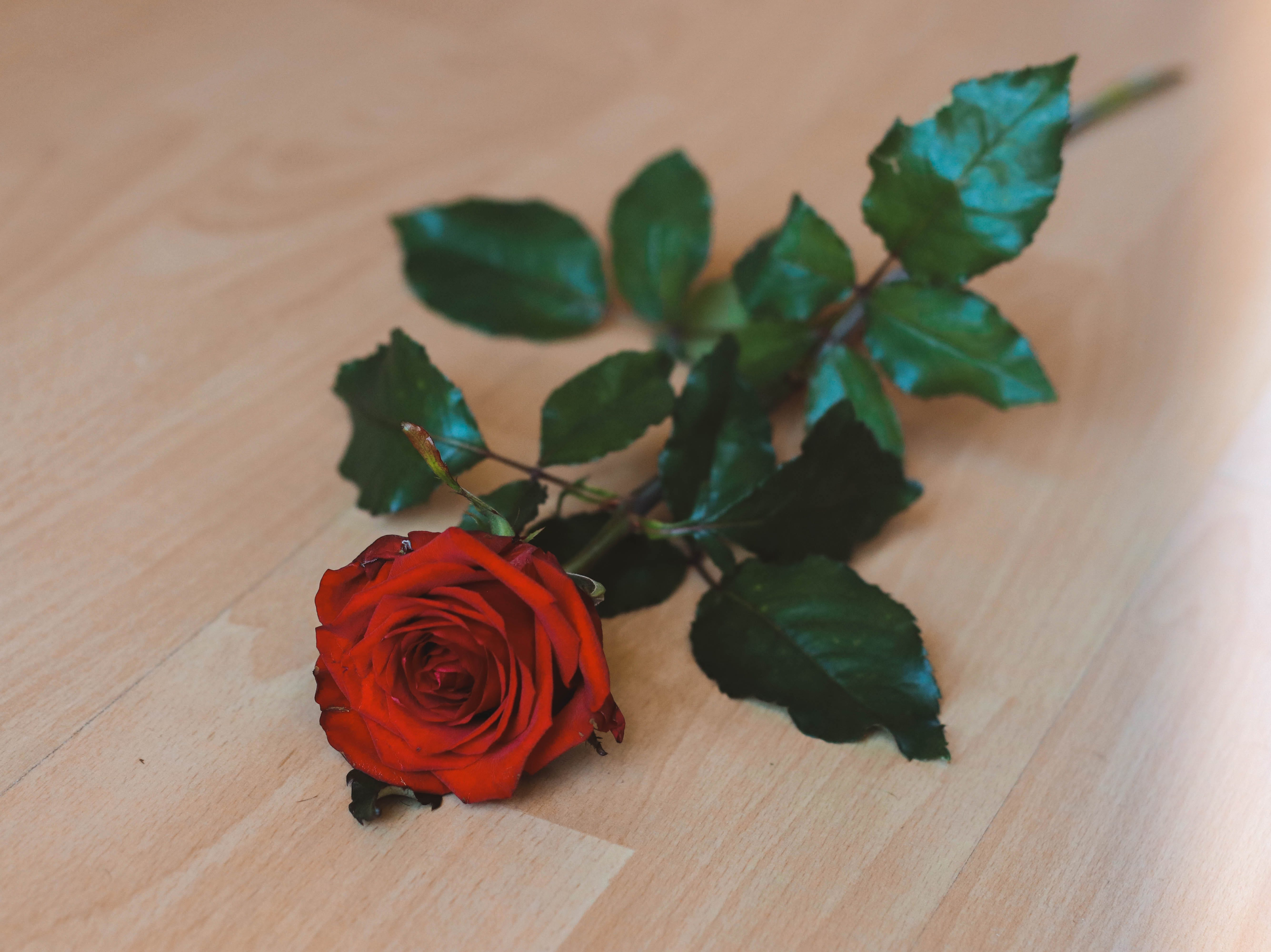 Free stock photo of flower, leaves, Red Rose, rose