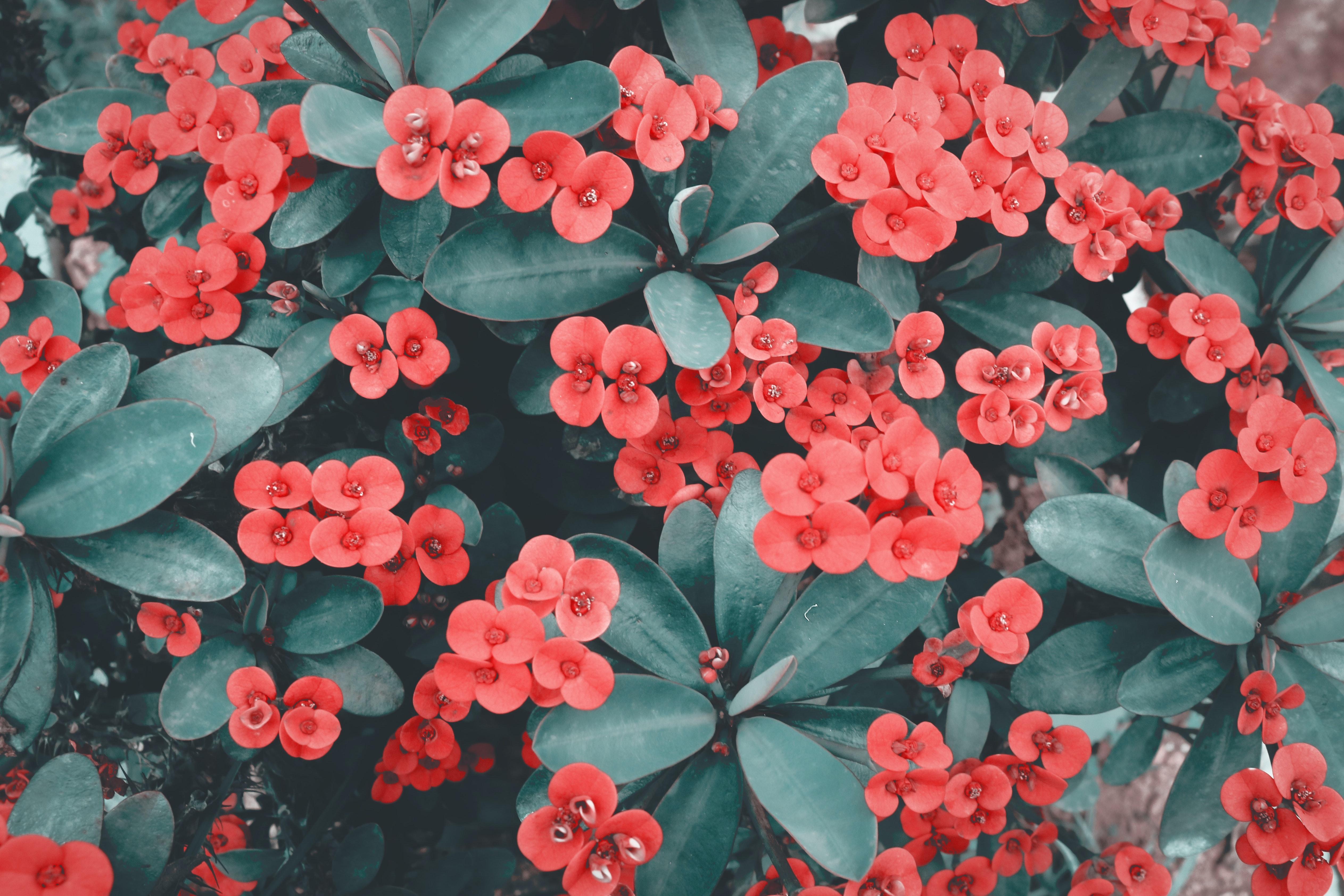 Wallpaper Red flower Dark background K Flowers