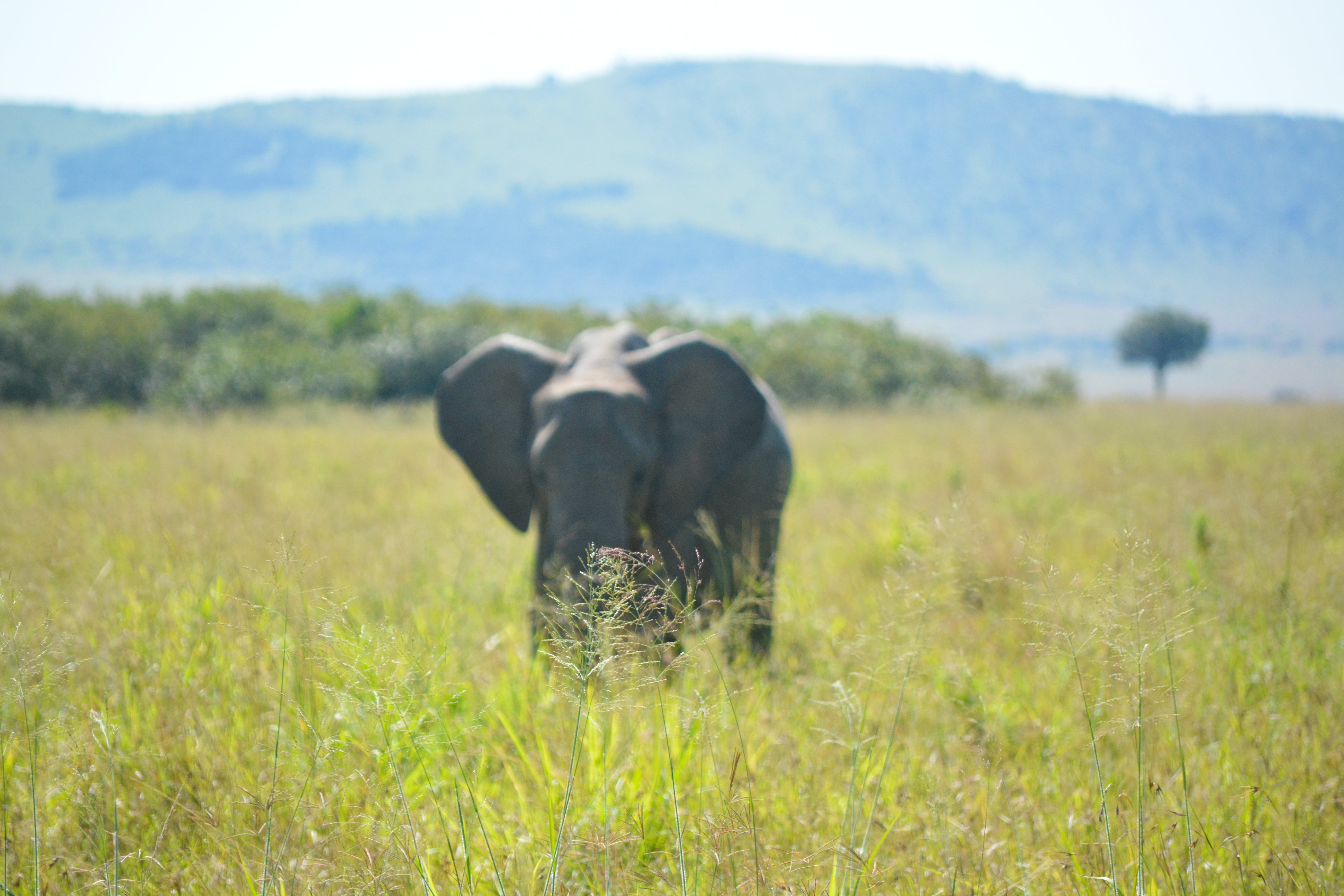 Free stock photo of african elephant, elephant, out of focus, savanna