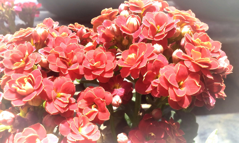 Free stock photo of begonias, flower, garden, wilderness