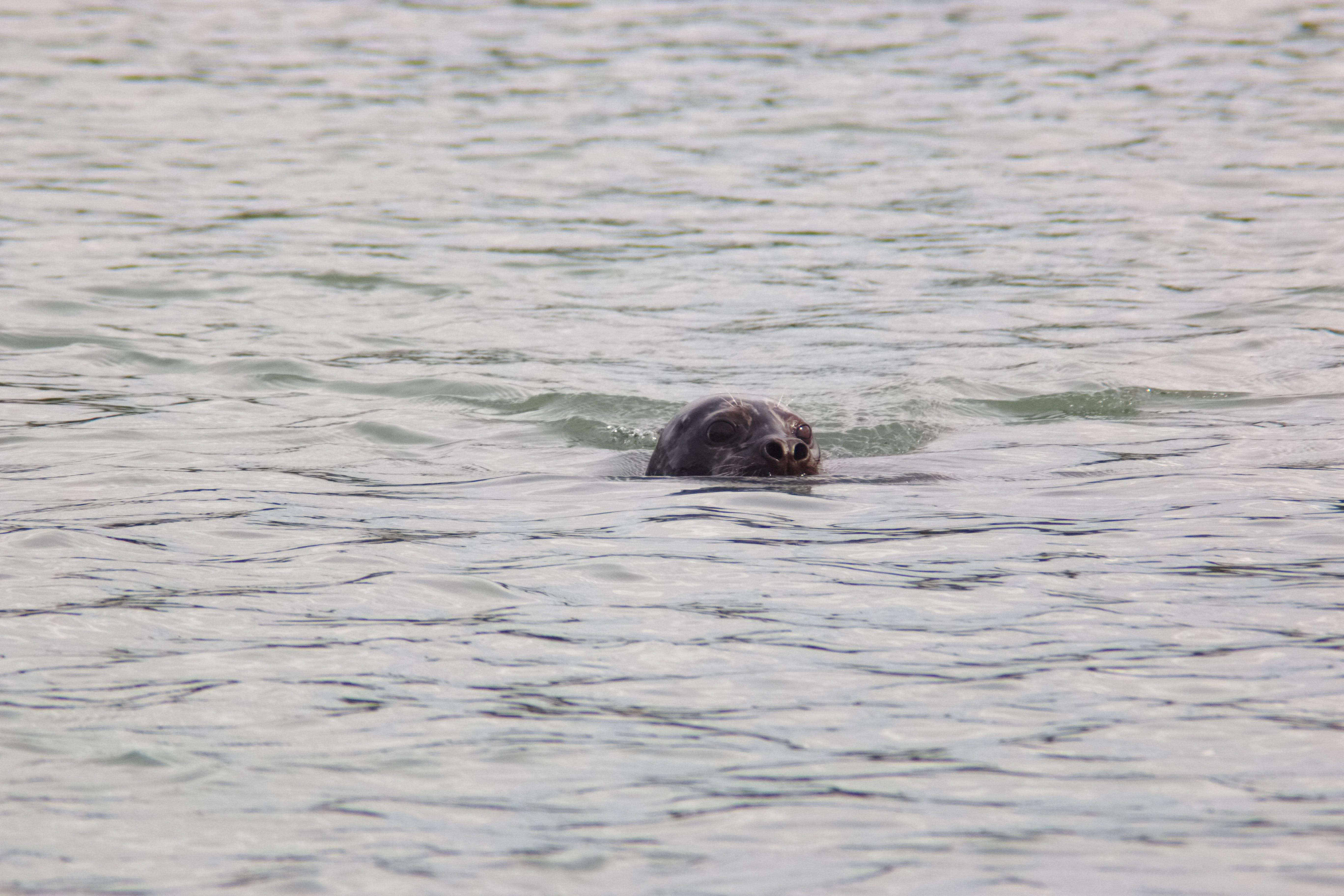 Δωρεάν στοκ φωτογραφιών με ζώο, θαλάσσιος, θηλαστικό, καρφίτσα