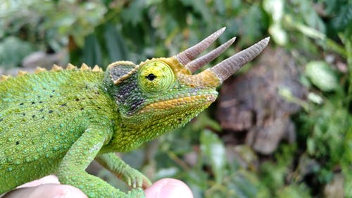 Free stock photo of chamaeleon, green, male